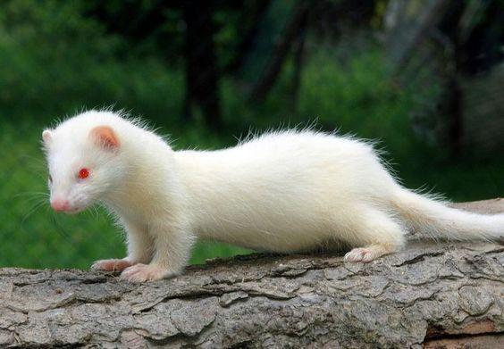 Photo of Ferret | A-Z List of 125 Rare Albino Animals [Pics]