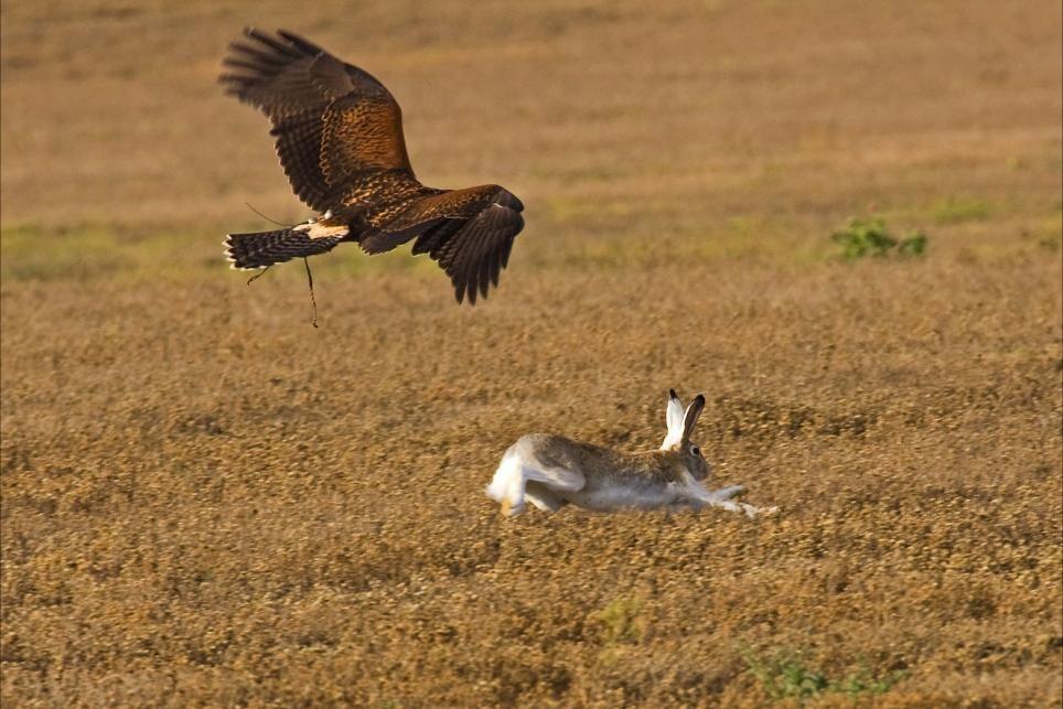 harris hawk hunting rabbits
