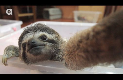 This Little Sloth Is Very Ready For His 15 Minutes Of Fame