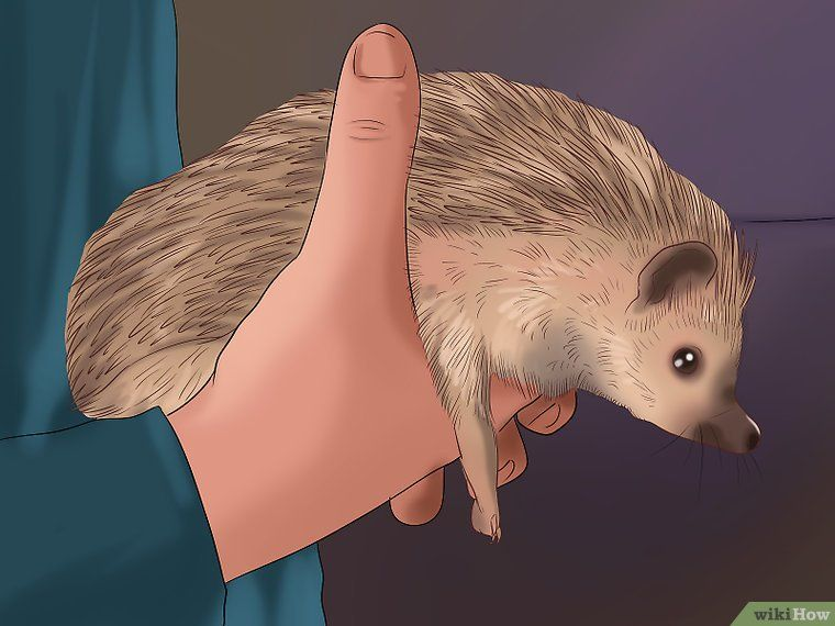 How to take care of a hedgehog with pictures pygmy
