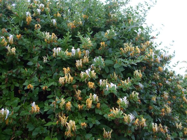 Madreselva bonito pinterest golondrina oscuro y bonito - Madreselva planta ...