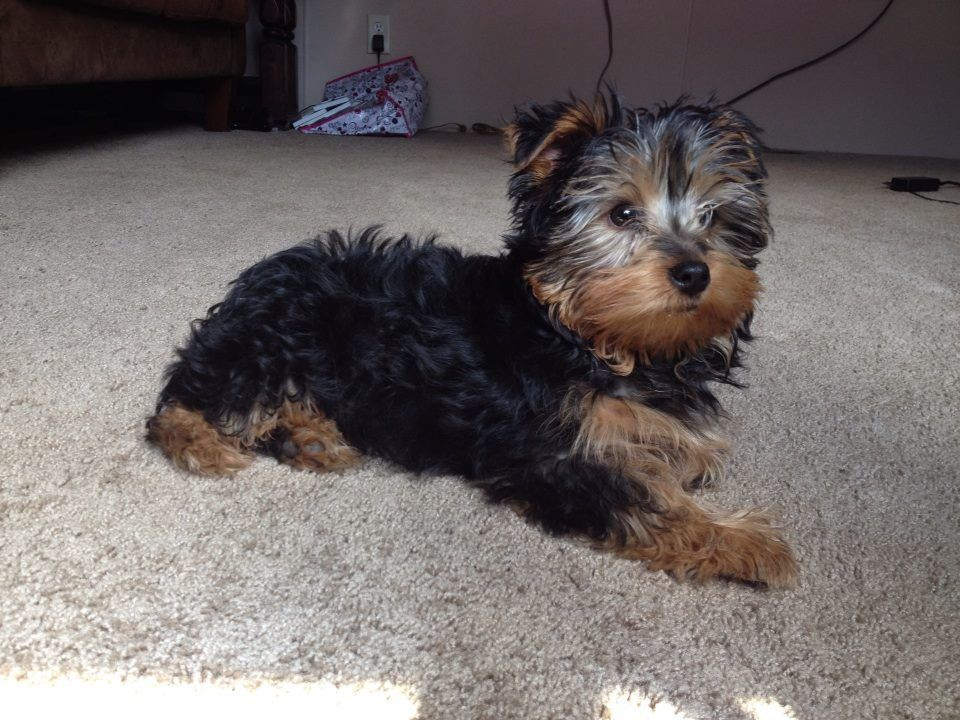 Benji Relaxing Yorkie Puppy 3 Months Old Mighty Hearts Tiny Tots