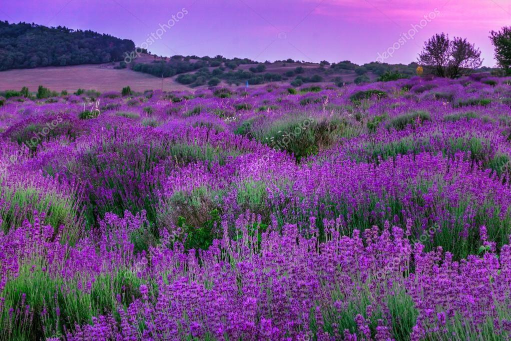 depositphotos_43109957-Lavender-field-in-summer.jpg (1023×682)