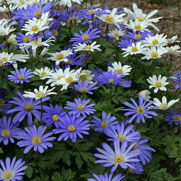 anemone blanda blue white f r den schattengarten ein sehr sch ner j hrlich. Black Bedroom Furniture Sets. Home Design Ideas