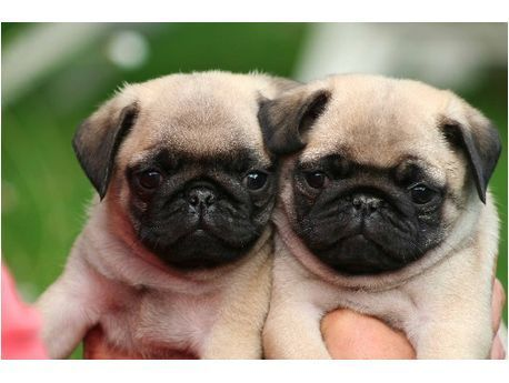 Pin By Chenelle On Cute Animals With Images Cute Pug Puppies
