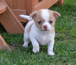 Precious Angels South Africa Chihuahua Africa Chihuahua