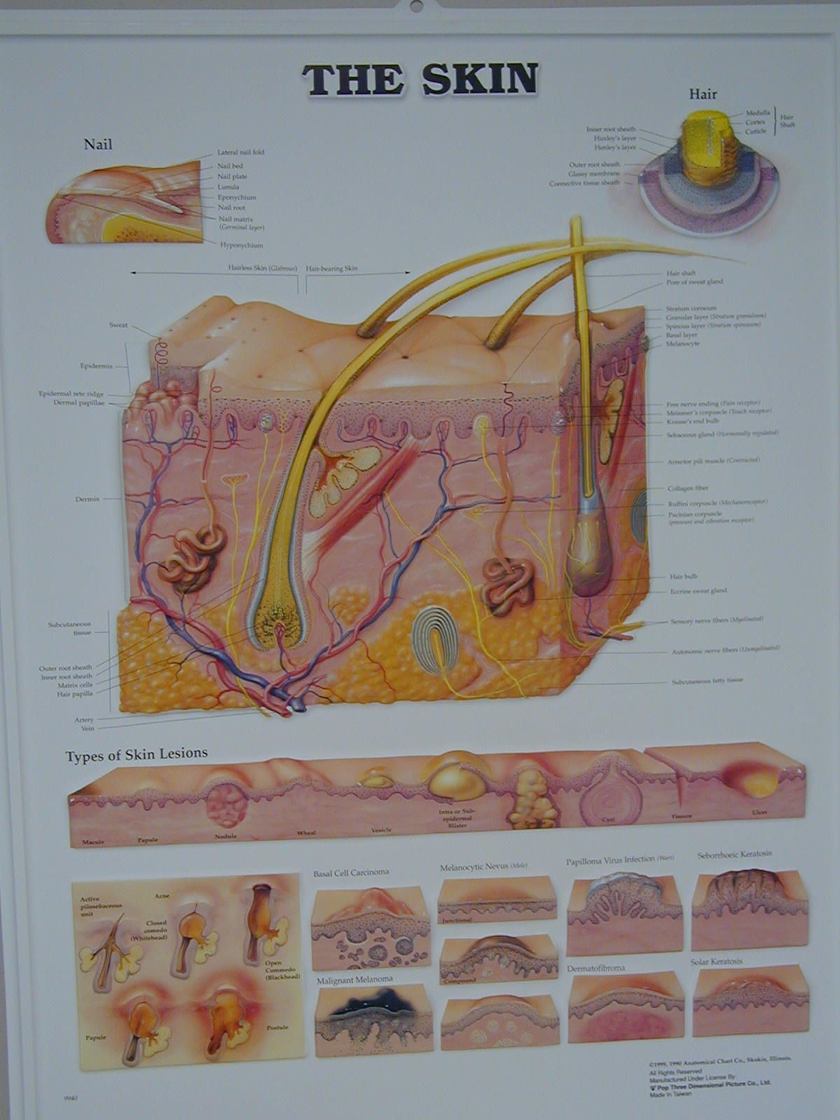 Hair Follicle Model Labeled