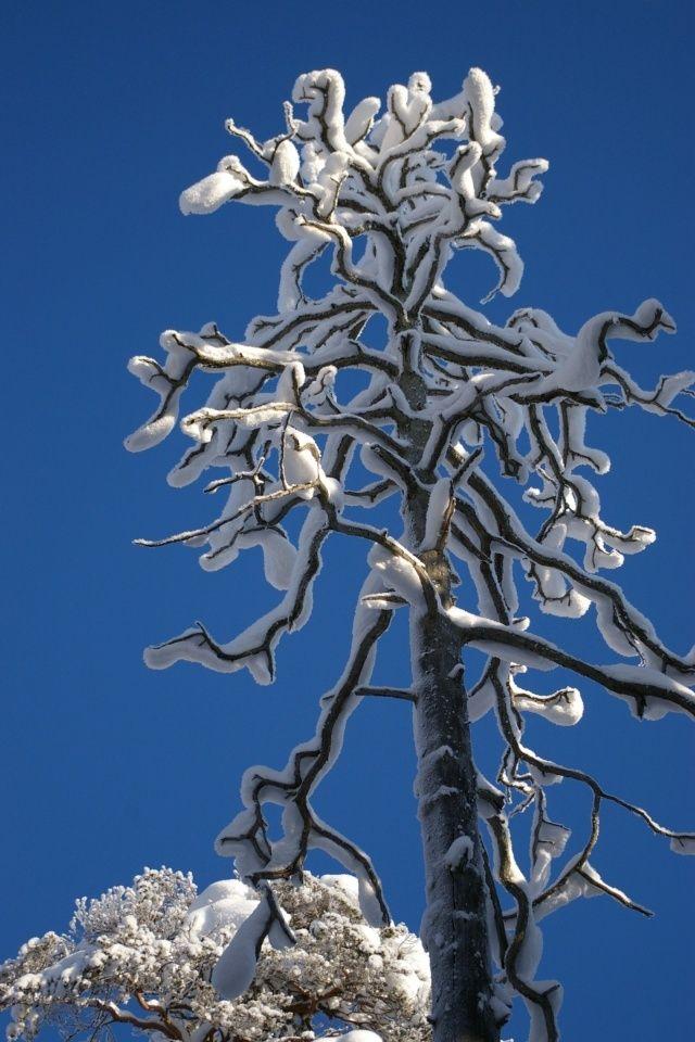 Puut kuin patsaat Pyhä-Häkin Kansallispuistossa helmikuussa.