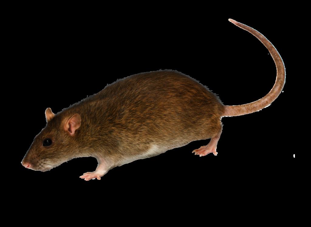Download Png Image Mouse Rat Png Image Cute Rats Rats Png