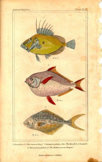 1837 Baron Cuvier Engraving Common Dory Moonfish Kingfish Butterfish Fish Art Scientific Illustration Animal Illustration