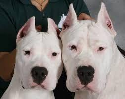 Image result for argentine dogo