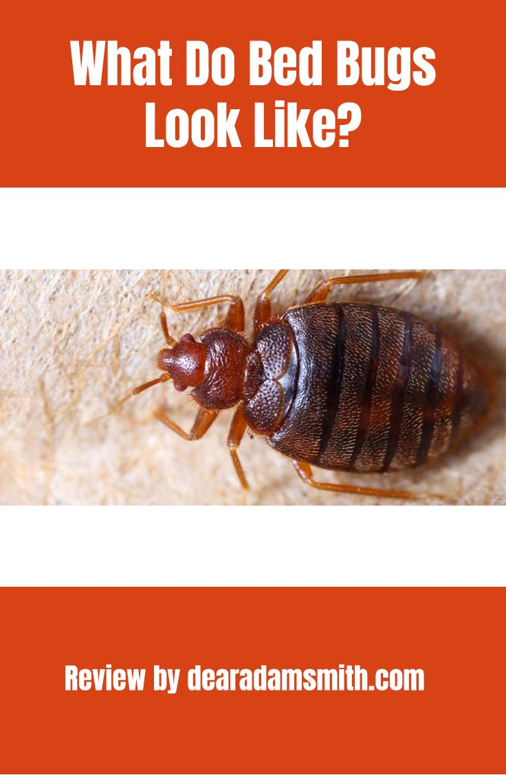 Bugs mistaken for bed bugs what bed bugs look like