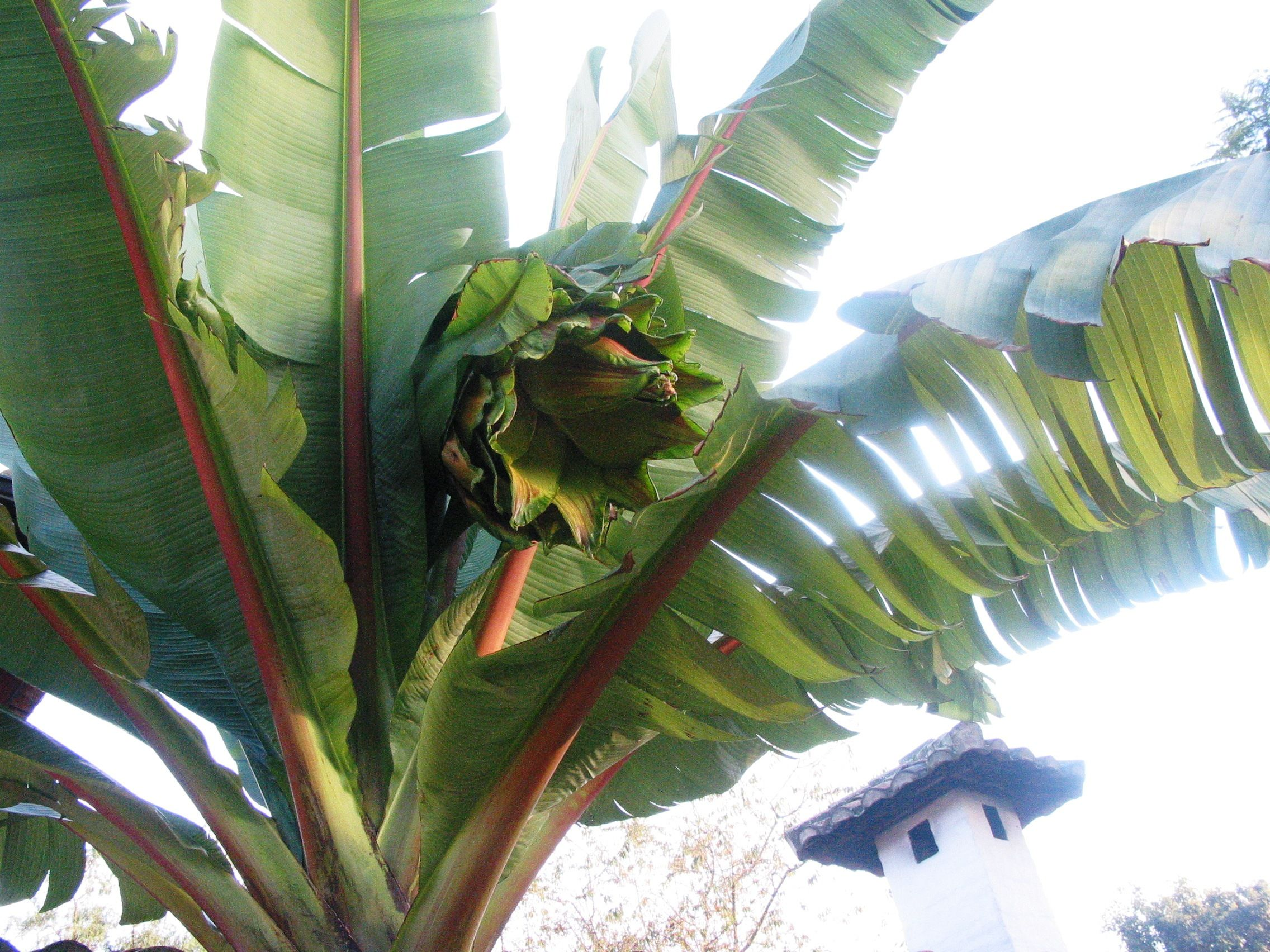 this is our biggest flower  the palm bearing it looks like a banana tree when small but grows to