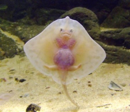fantasy albino king   beautiful+fish+unique+amazing
