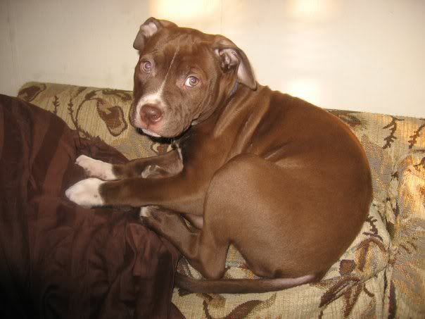 brown red nose pitbull puppies animals i want