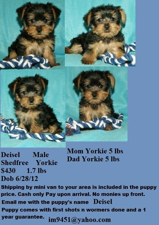 430 Yorkie Morkie Puppies For Sale In Ma Morkie Puppies Morkie