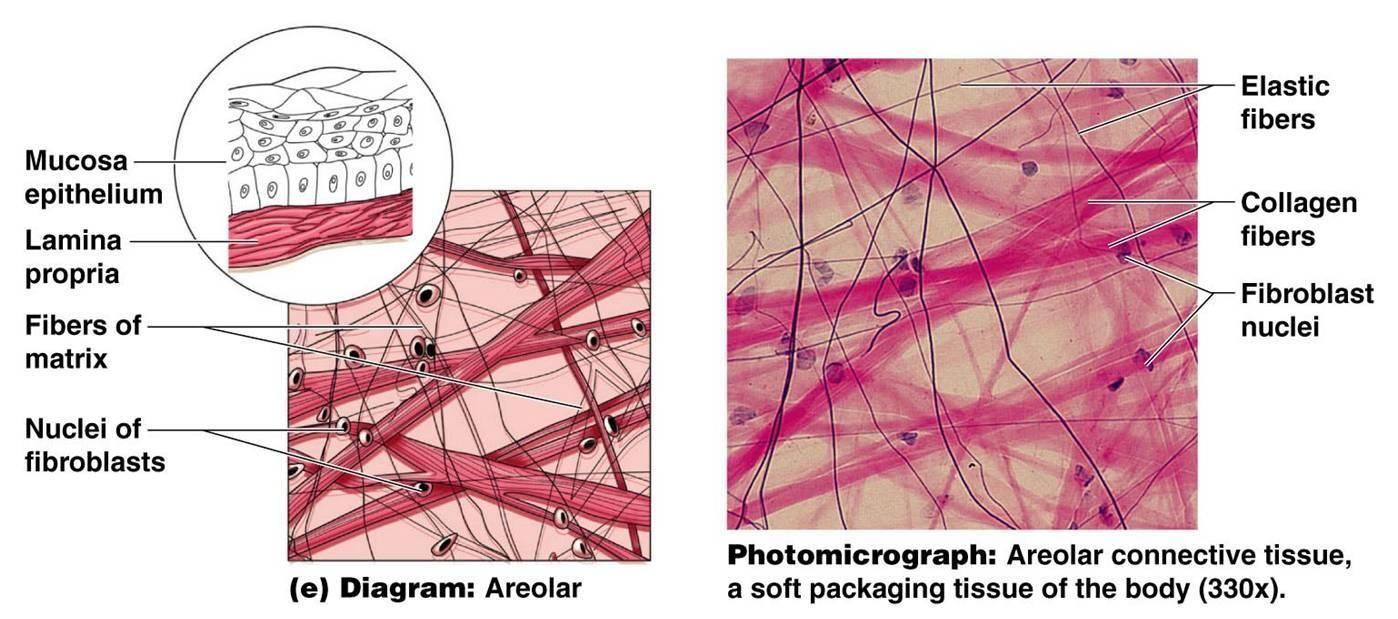 areolar tissue diagram google search [ 1398 x 619 Pixel ]