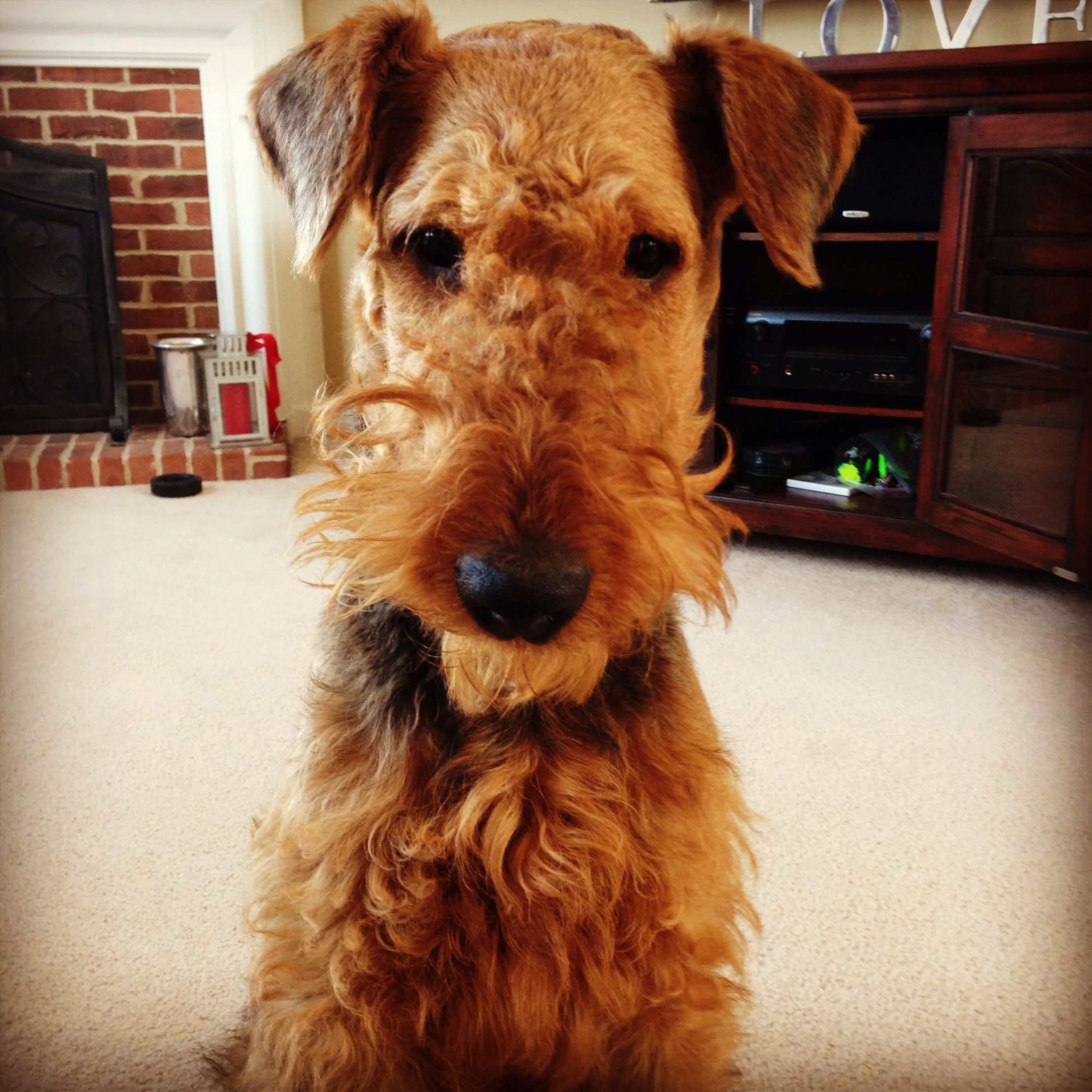 10 months old #airedale #puppy | Airedale | Pinterest | Terrier ...