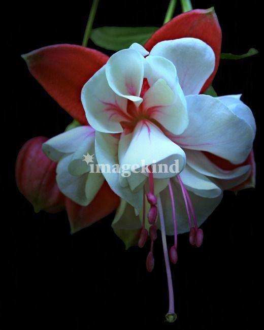 Red White Pink Fuchsia Flower By John Corney Unusual Flowers Fuchsia Flower Amazing Flowers