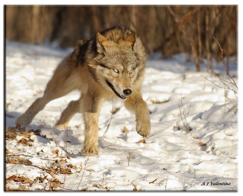 running wolf photo albert j valentino photos at pbase