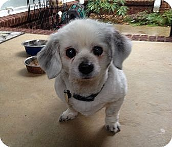 Lovely Senior In Nashville Tn Pekingeseshih Tzu Mix Meet Baxter