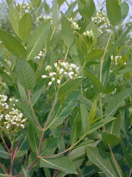 Common Dogbane Apocynum Cannabinum Another Common Name For This