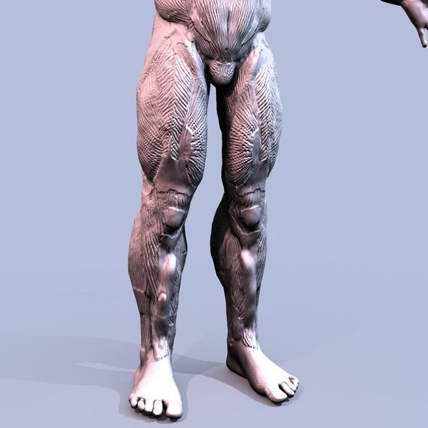 Human Muscular Anatomy 3d Model Human Muscular Anatomy By