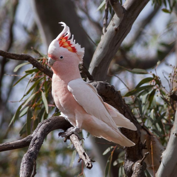 Sometimes called the Pink Cockatoo, the Major Mitchell's Cockatoo fiery crest is something to behold, with its alternating stripes of crimson and yellow.  Named after that famous Scottish explorer of Australia, the Major Mitchell's Cockatoo is found in Australia's drier parts.  Not to be confused with the much more common Galah, the Major Mitchell is paler overall, and doesn't have that grey back and wing.