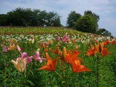 静岡県袋井市の可睡ゆりの園は名前の通りにユリがいっぱい 3万坪も敷地があって世界中の15種類のゆりが咲きます ゆりといえば白や薄いピンクというイメージがあるけど可睡ゆりの園のユリはとってもカラフル(_)v 一年を通して季節ごとのユリが楽しめるのが魅力ですね tags[静岡県]