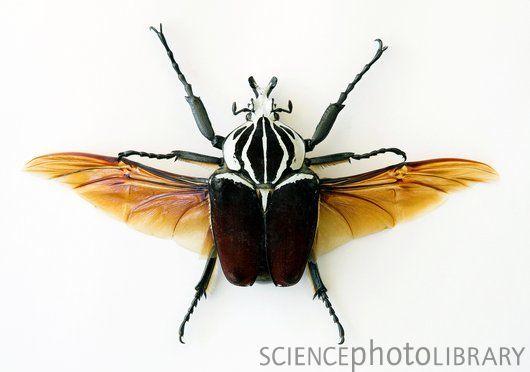 Goliath beetle - Stock Image - C002/3652