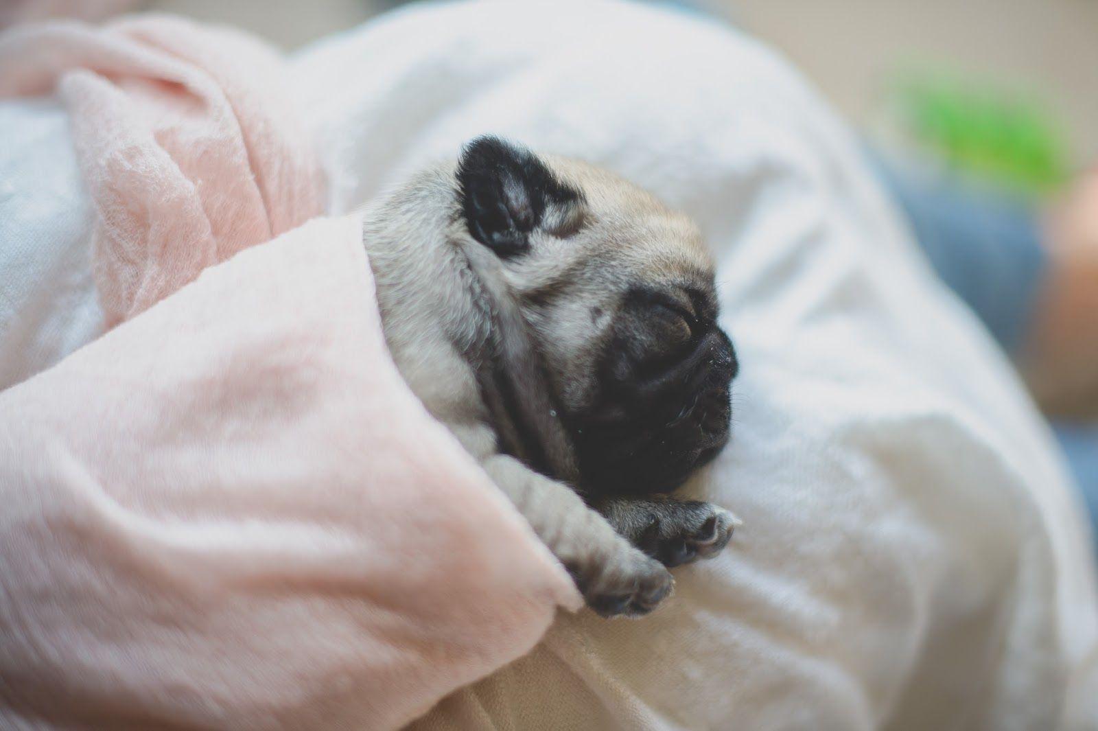 Daisy Baby Photography Newborn Pug Puppies Daisy Baby