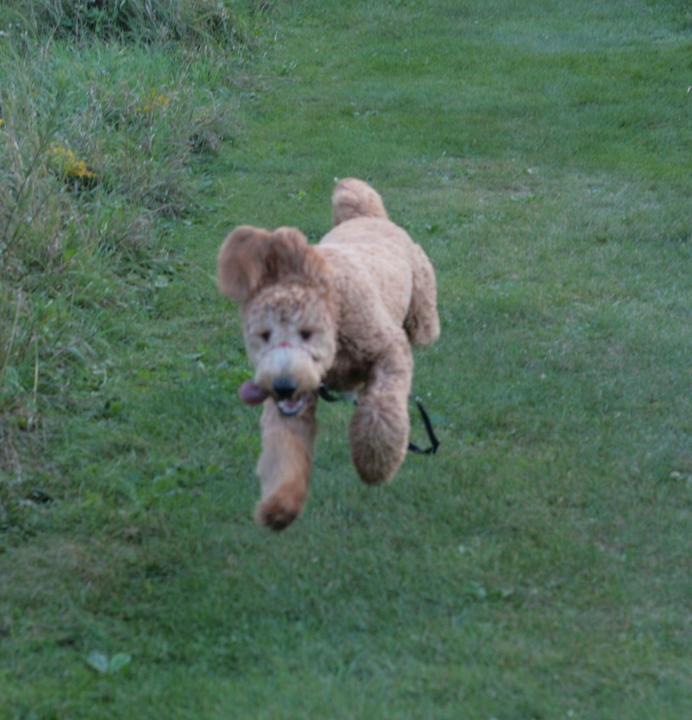 My Magnificent Goldendoodle Puppy Airtime With Images