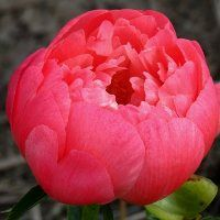 Hollingsworth Peonies - Coral Sunset