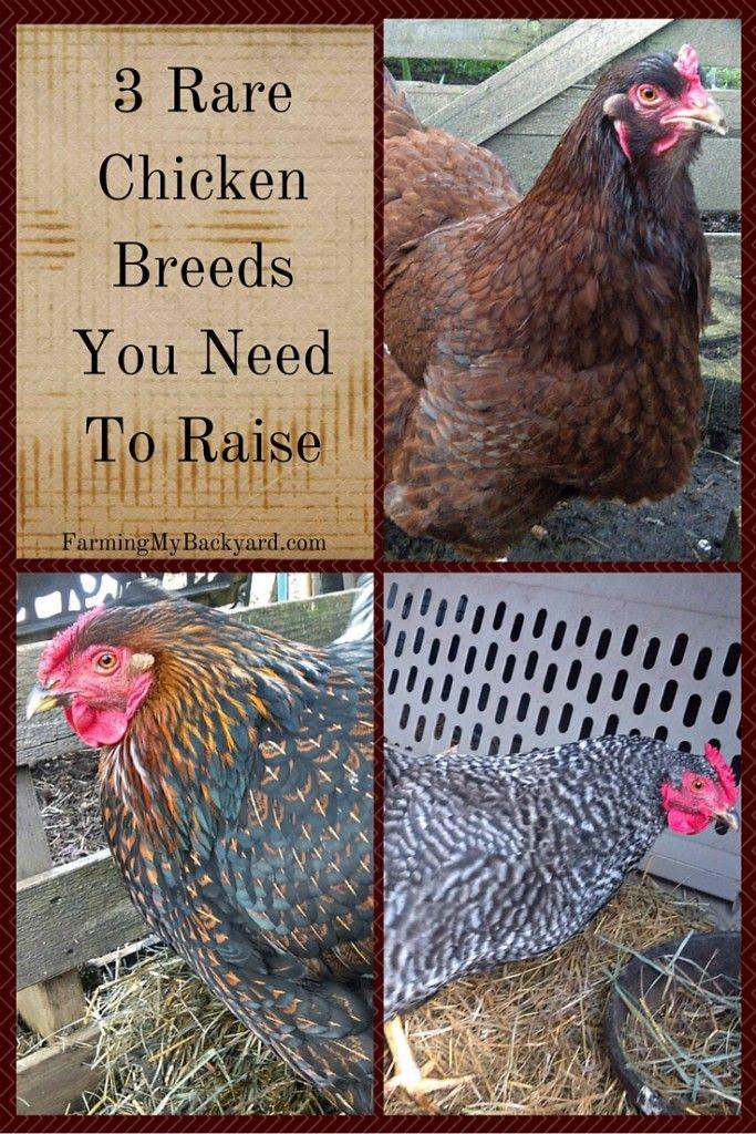 3+ Rare Chicken Breeds You Need To Raise | Rare chicken ...