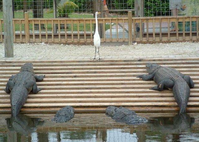 I dare you, you pelican impersonator