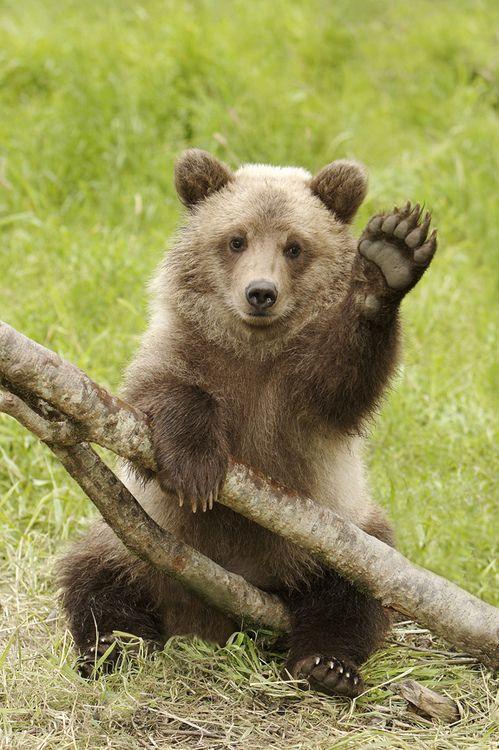 Grizzly Cub Waving Hello Photo by AlaskaFreezeFrame on Flickr