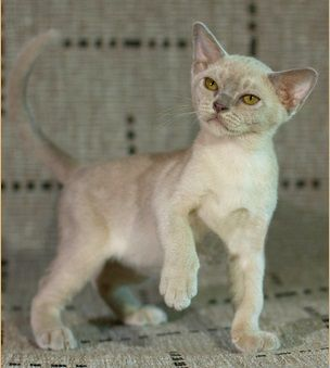 European And American Burmese Let S Make It Clear Burmese Cats Portal Burmese Cat Burmilla Cat Burmese Kittens