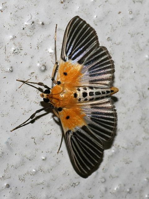 Nevrina procopia (Crambidae: Spilomelinae) by yakovlev.alexey, via Flickr. Malaysia.
