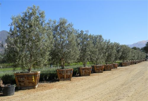 Swan Hill Olive Tree Fruitless Olive Tree Low Branching 48 Box Outdoor Landscaping Landscape Trees Plants