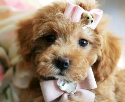 Teacup Poodle Puppies Teacup Poodle Puppies Tea Cup Poodle