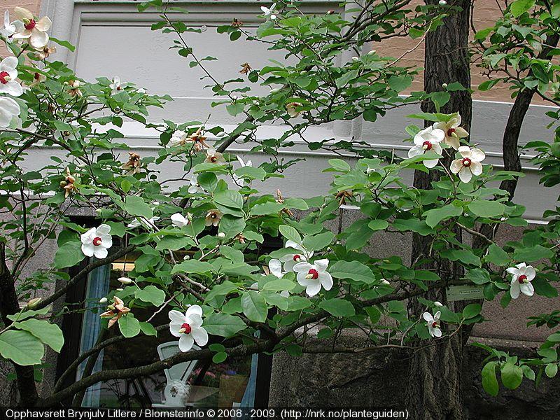 Magnolia Sieboldii Green Plants Plants Magnolia