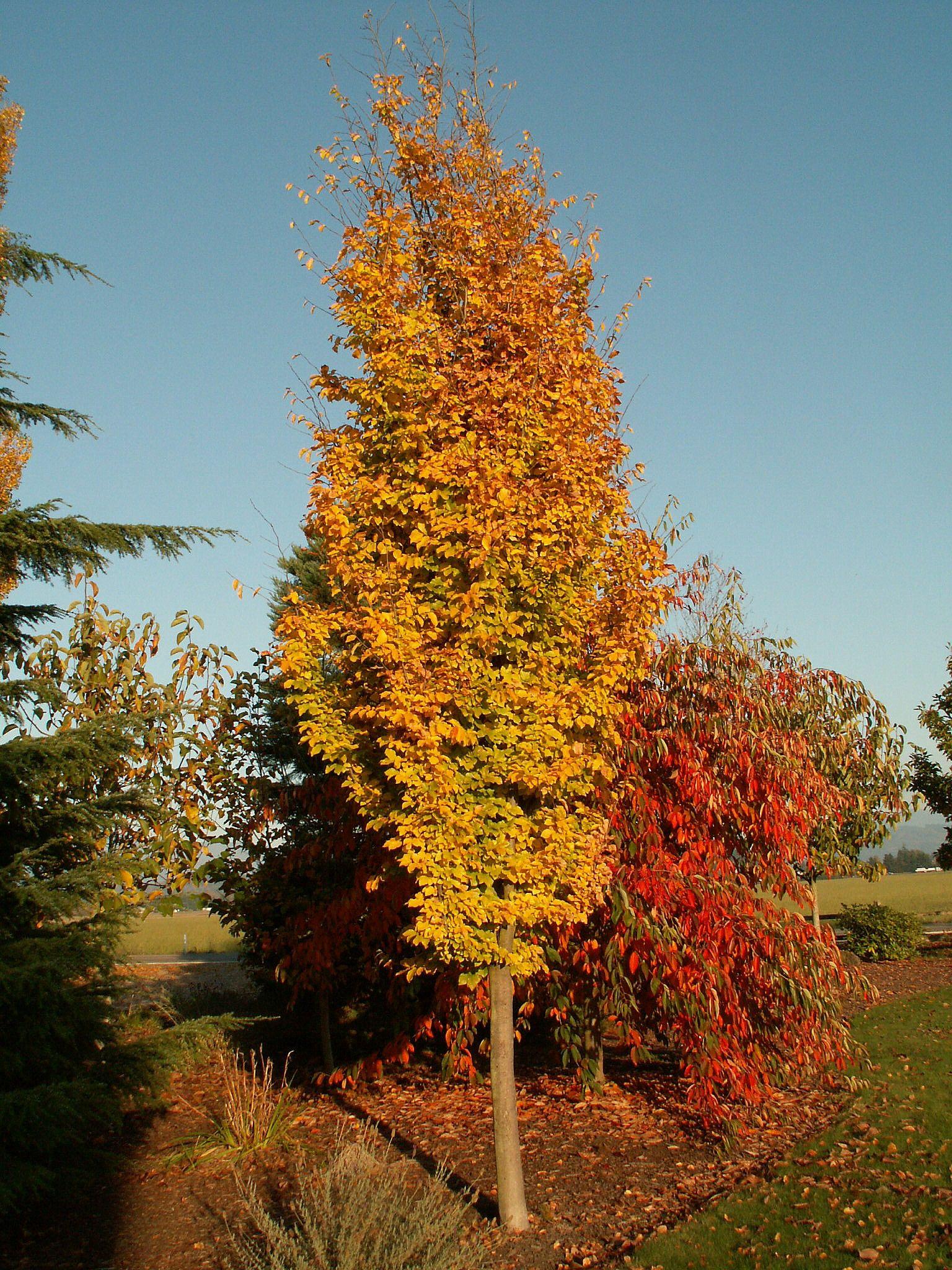 Parrotia persica Golden BellTower™ | Plant Wish List & Favorites ...