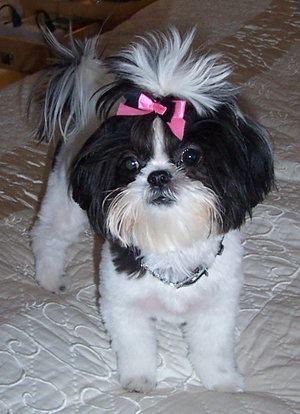 I Love Black White Shih Tzus Shih Tzu Puppy Shih Tzu Shih