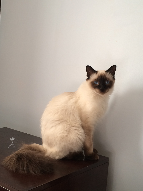 I Love Coffee Balinese Cat Siamese Cats Blue Point Siamese Cats