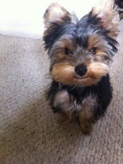 Yorkie Teddy Bear Cut Tino 5 Month Old Yorkie Yelp Yorkie