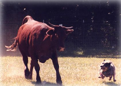 Cappy Pruett Stock Dog Training Hudson Colorado Dog Training