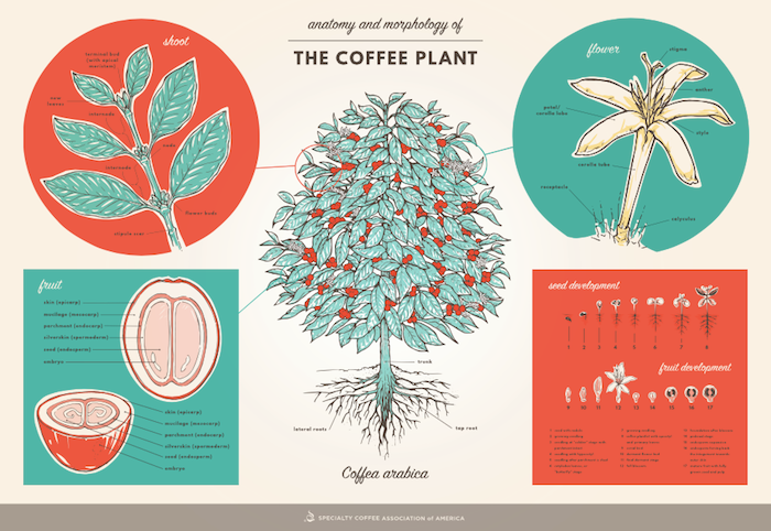 Anatomy And Morphology Of The Coffee Plant Coffee Pinterest