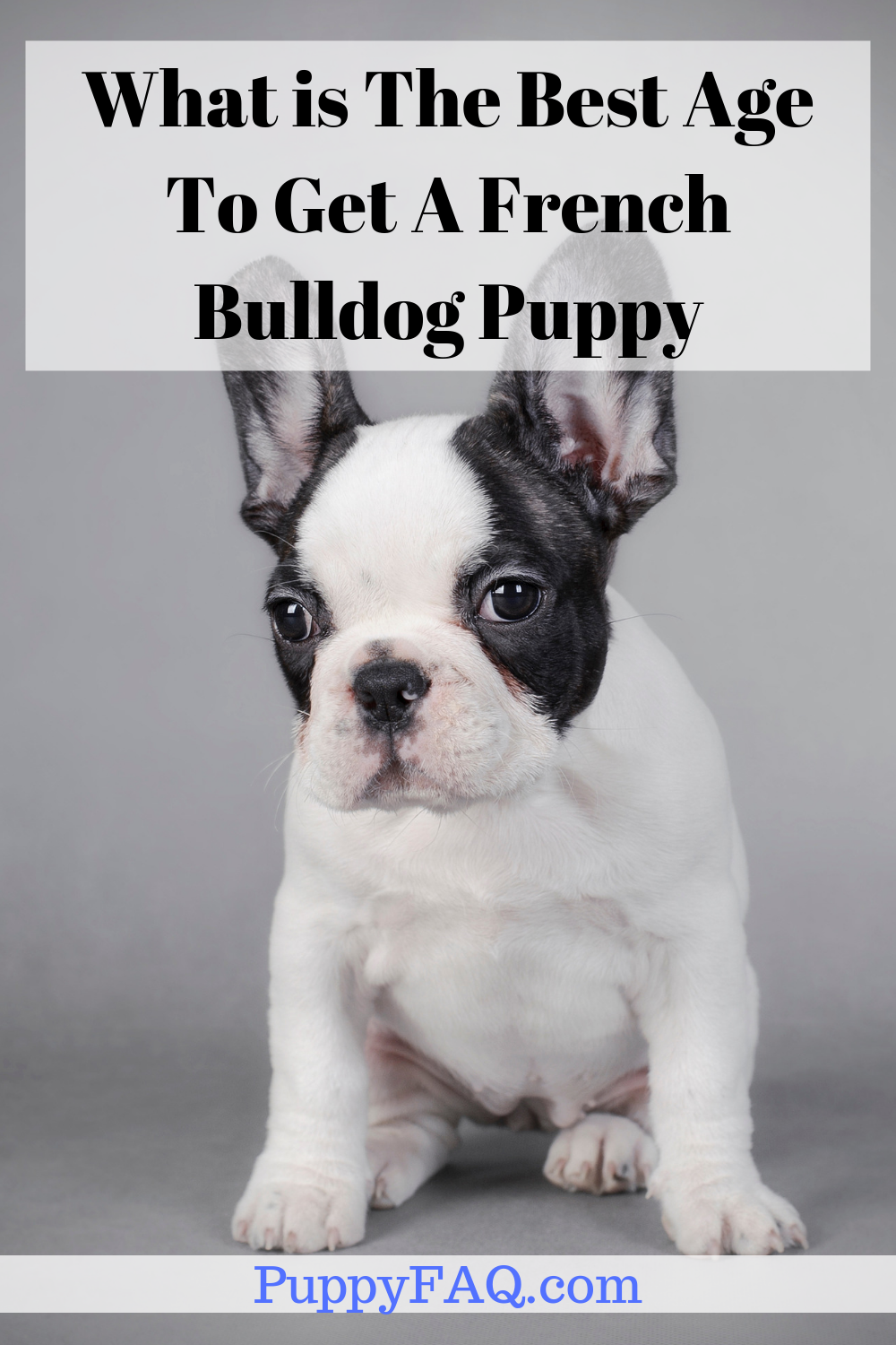 What is The Best Age To Get A French Bulldog Puppy (With