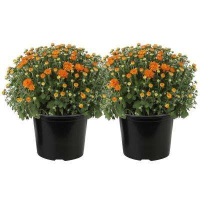 Search Results For Mum S The Flowers At The Home Depot Mobile Fall Mums Country Garden Design Bloom