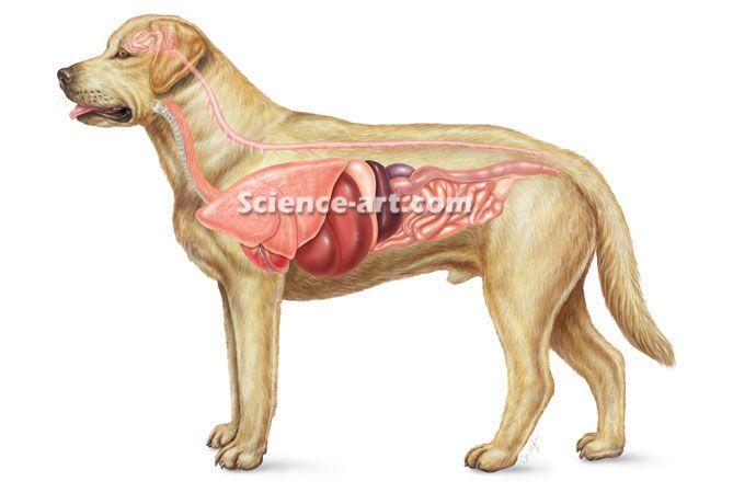 Internal Anatomy Of Dog Yellow Lab Illustrationscience Art